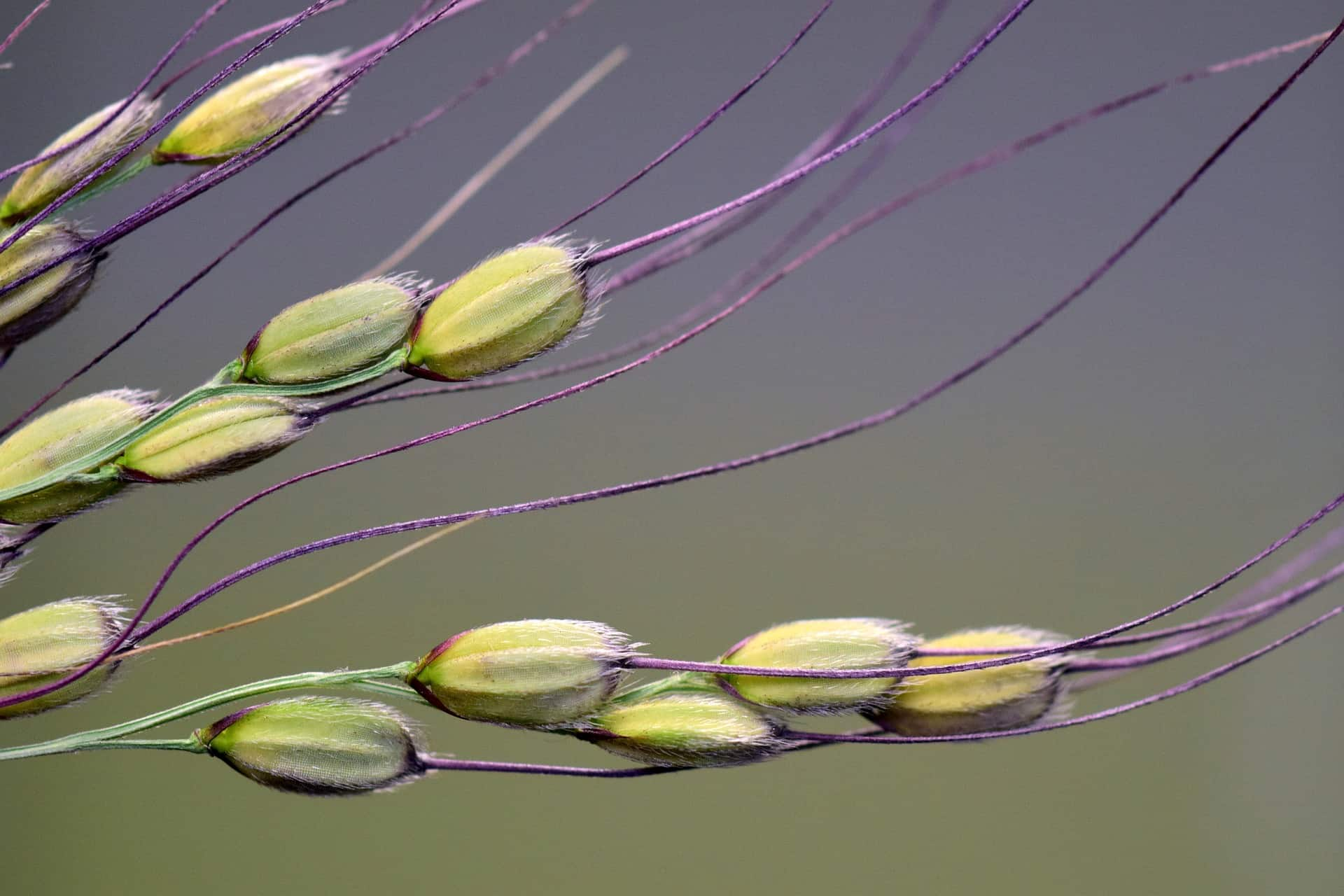 rice grain with husk